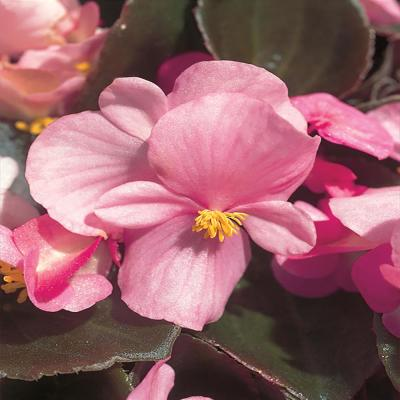 4.5 in. Pink Begonia Plant