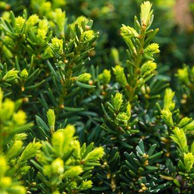 2.5 qt. Dark Green Spreader Yew (Taxus), Live Evergreen Plant, Green Foliage (1-Pack)