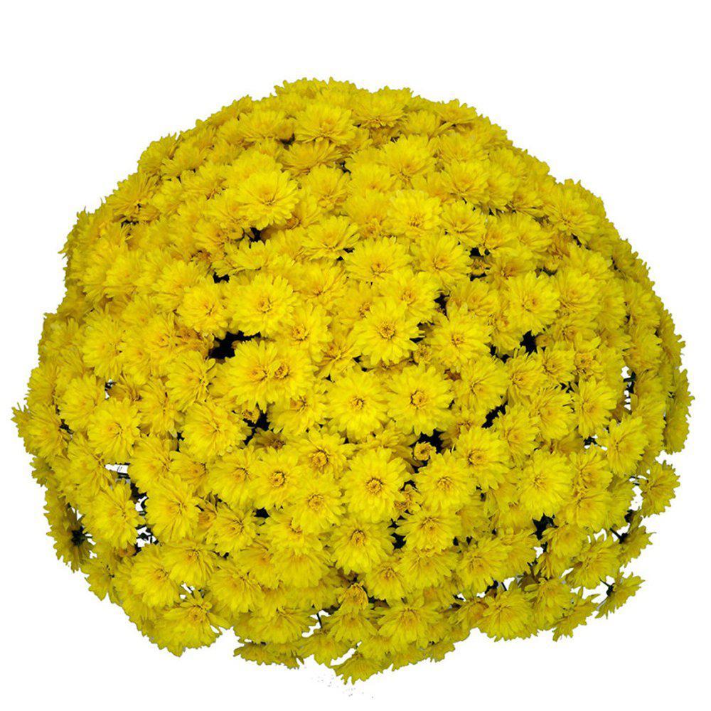 1.8 Gal. Mum Chrysanthemum Plant Yellow Flowers in 11 In. Hanging Basket