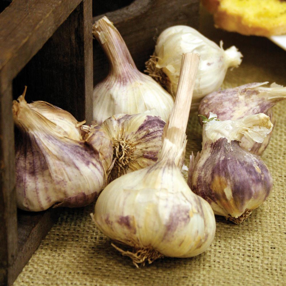 Garlic Italian Purple (5-Set)
