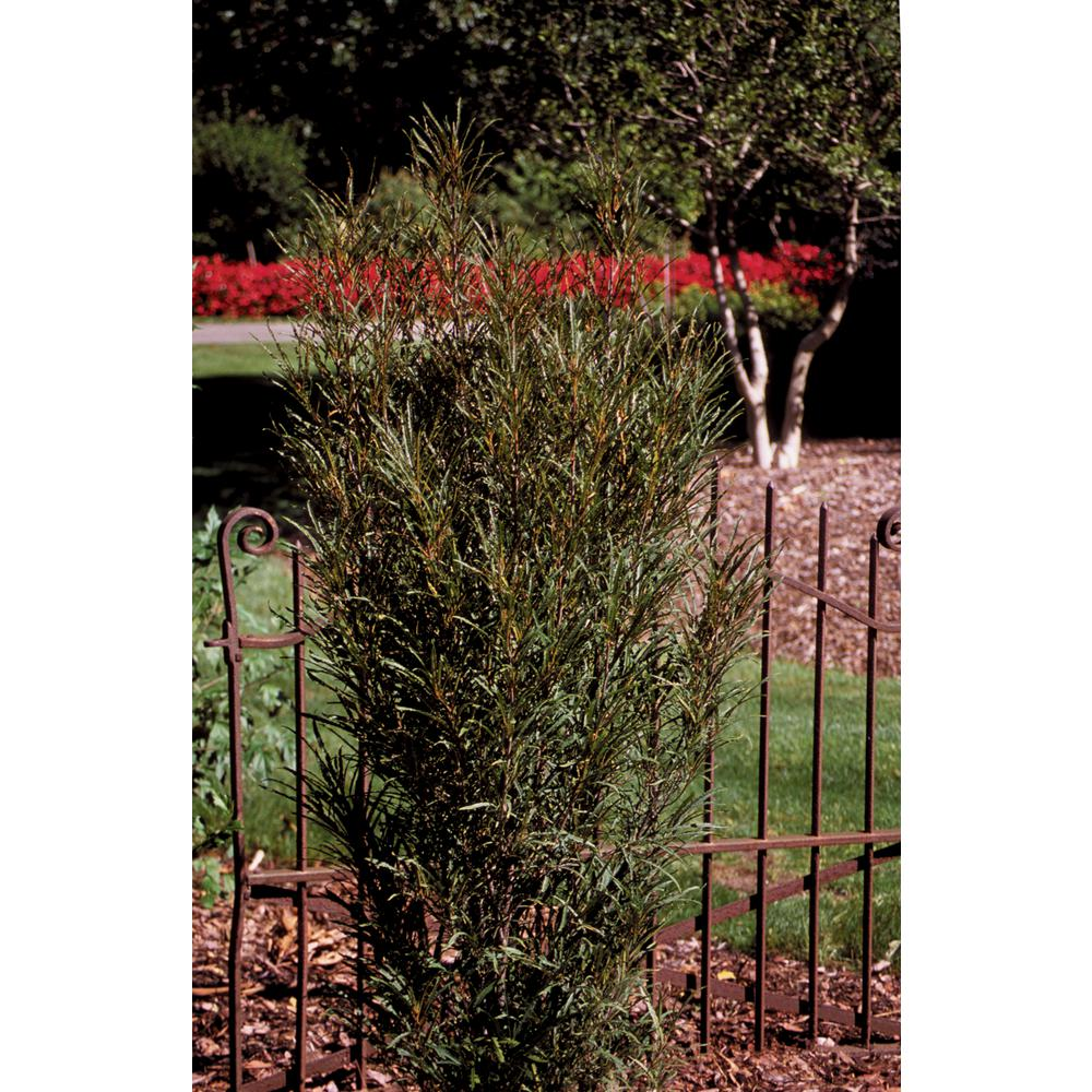 Fast - Evergreen - Shrubs - Trees & Bushes - The Home Depot