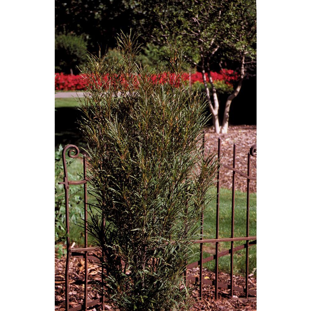 3 Gal. Fine Line Buckthorn (Rhamnus) Live Shrub, Green Foliage