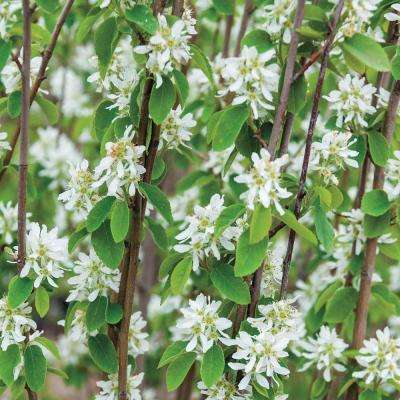 4 in. Pot Standing Ovation Serviceberry (Amelanchier) Live Potted Ornamental Tree White Flowers (1-Pack)