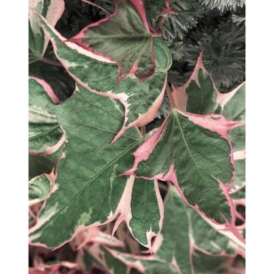 4-Pack, 4.25 in. Grande Tricolor Sweet Potato Vine (Ipomoea) Live Plant, Green, Pink, and White Foliage