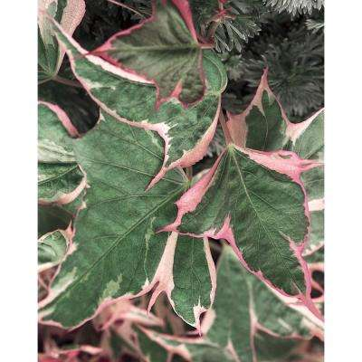 Tricolor Sweet Potato Vine (Ipomoea) Live Plant, Green, Pink, and White Foliage, 4.25 in. Grande, 4-pack
