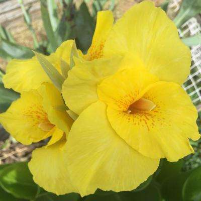 Givhandys 4 in. Potted Yellow Water Canna Bog/Marginal Aquatic Pond Plant