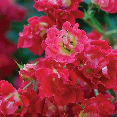 1 Gal. Red Rose - Live Re-Blooming Groundcover Shrub
