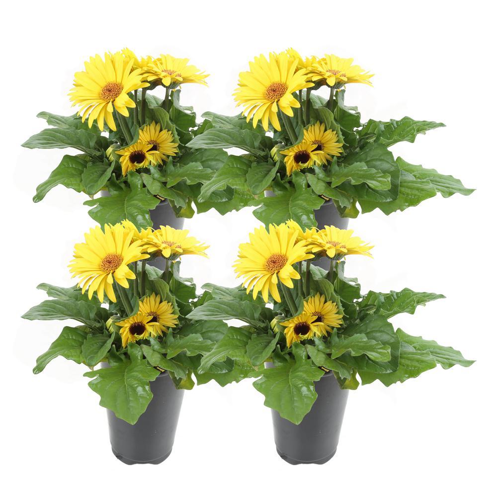 1 Qt. Yellow Gerbera Flowers in Grower's Pot (4-Pack)