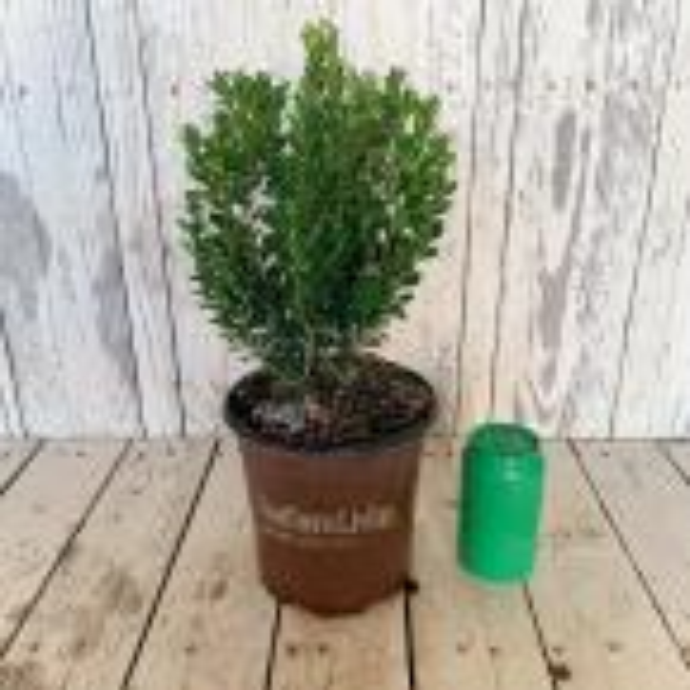2.5 Qt. Boxwood Baby Gem, Live Shrub Plant, Glossy Green Foliage