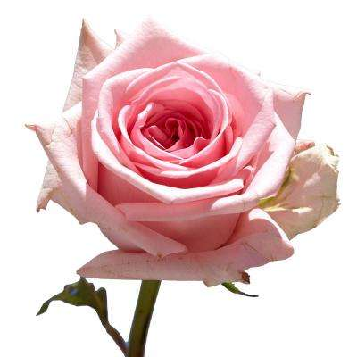 50 Pink Roses- Fresh Flower Delivery