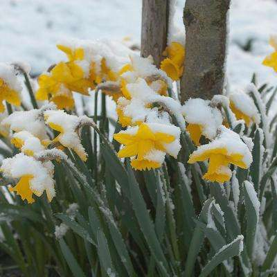 Daffodils Bulbs First To Bloom Yellow (Set of 12)
