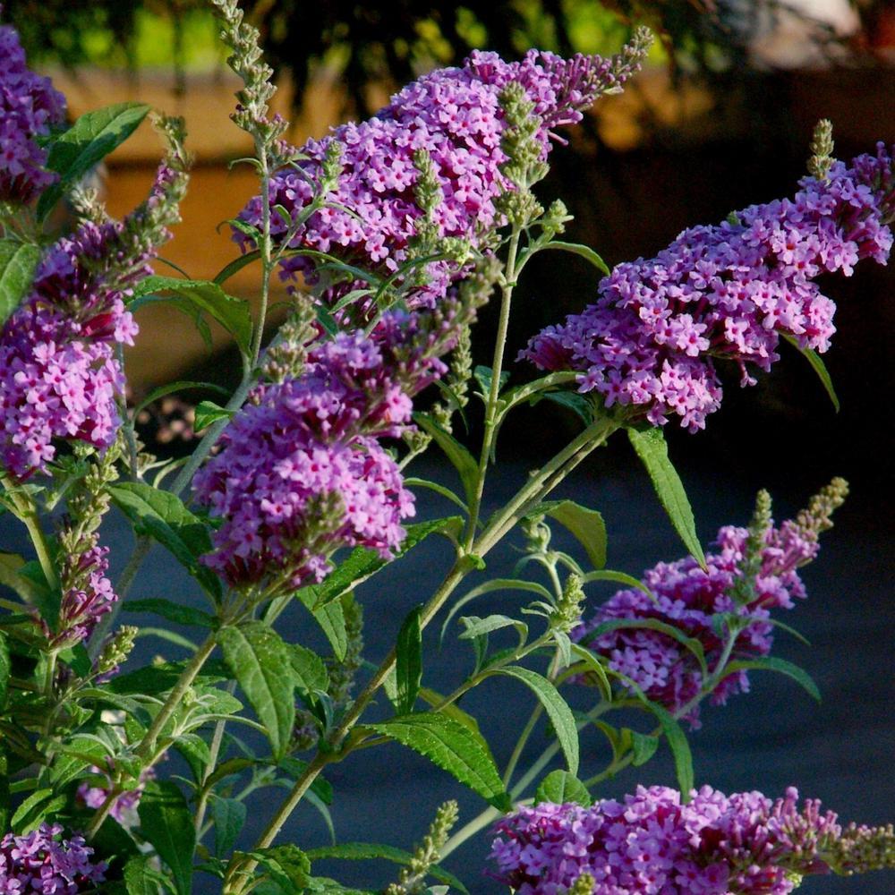 2.25 Gal. Buddelia Nanho Purple Flowering Shrub with Purple Blooms