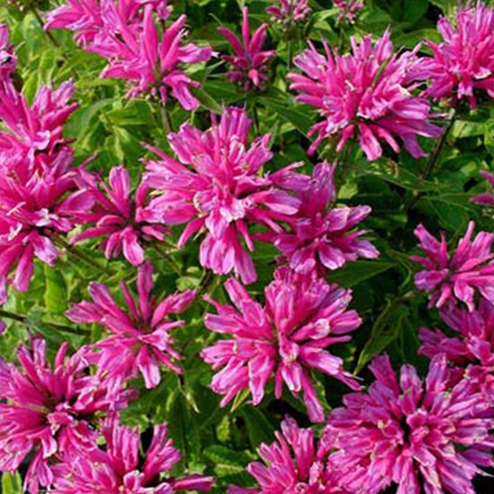 Onlineplantcenter 1 gal petite delight bee balm plant m940cl the petite delight bee balm plant mightylinksfo