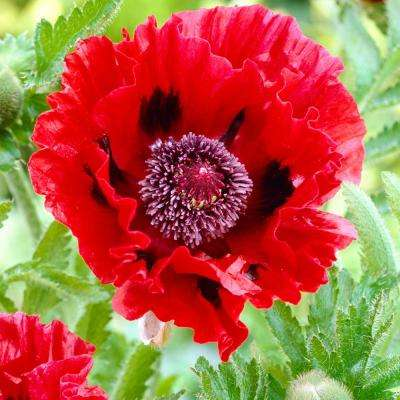 Poppies garden plants flowers garden center the home depot poppies red roots 5 pack mightylinksfo
