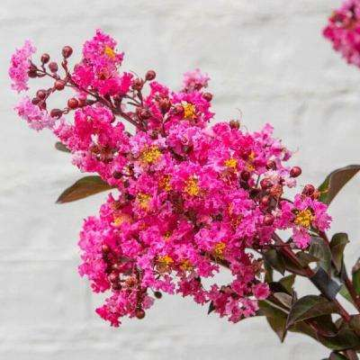 2 Gal. Delta Fusion Crapemyrtle, Live Deciduous Shrub/Tree, Burgundy Foliage, Dark-Pink Blooming