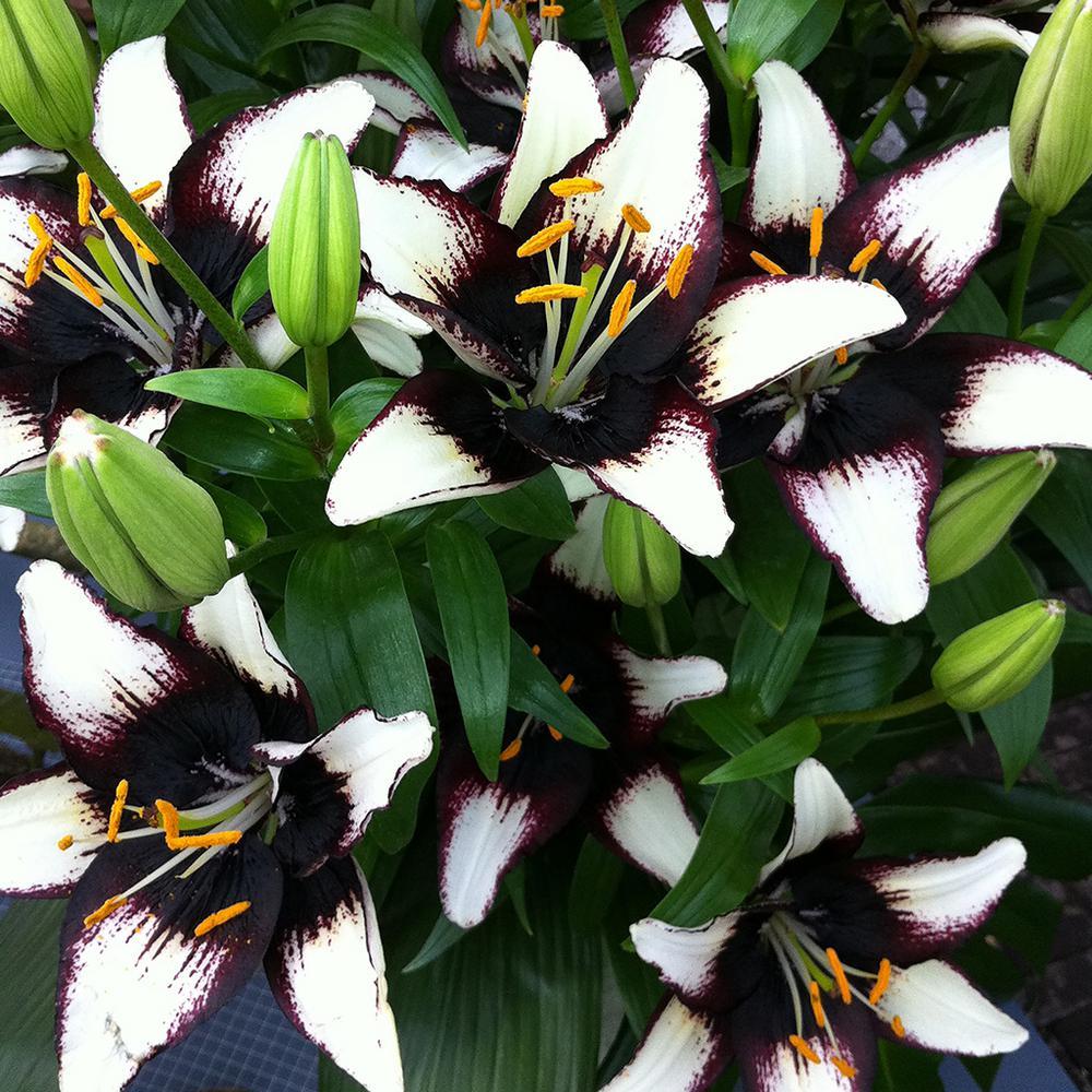 Van Zyverden Lilies Asiatic Black Eye Bulbs Pack Of 7 11355 The