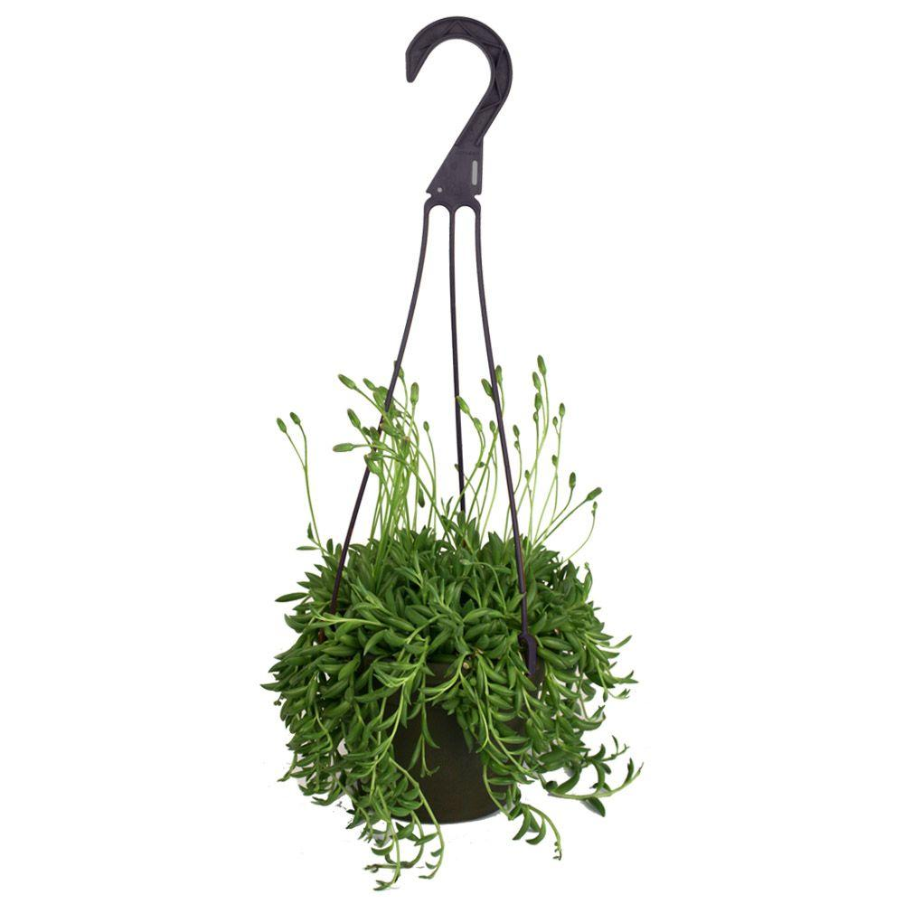 String of banana plant care - Assorted Bananas Senecio Radican Hanging Basket Plant