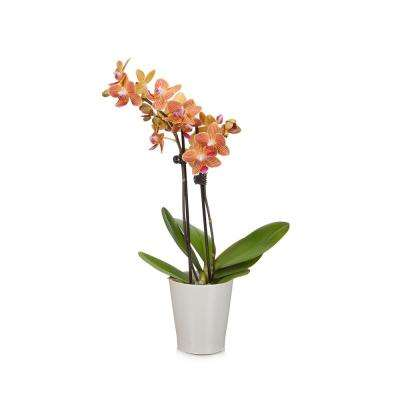Salmon 3 in. Orchid Plant in Ceramic Pot