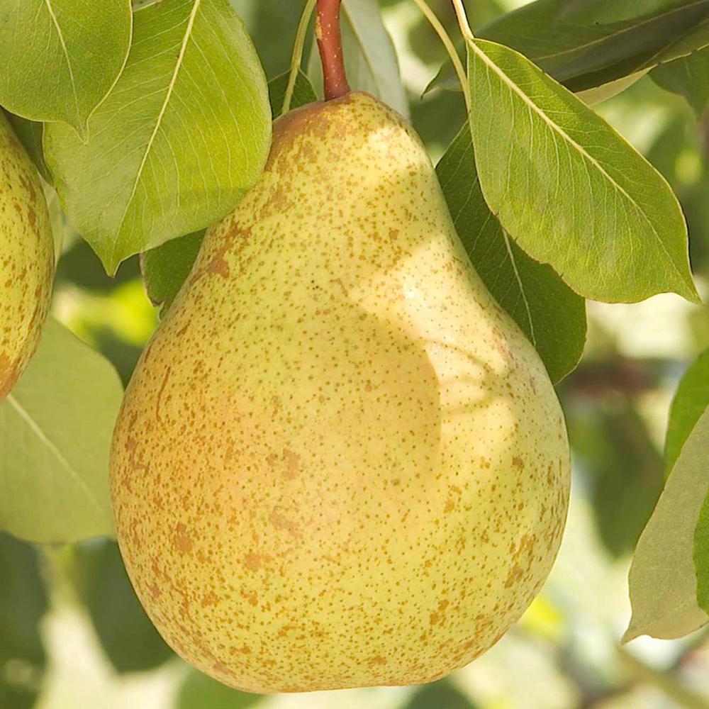 Ambrosia Semi-Dwarf Pear Pyrus Live Fruiting Bareroot Tree (1-Pack)