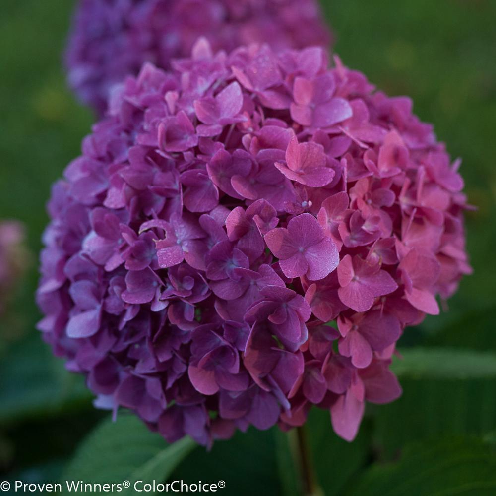 1 Gal. Let's Dance Rave Reblooming Hydrangea (Macrophylla) Live Shrub in Purple or Pink Flowers