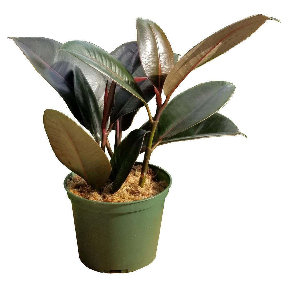 Rubber Plant in 6 in. Grower Pot