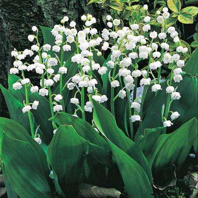 Lily of the Valley (Convallaria) Live Bareroot Groundcover Perennial Plant White Flowers (1-Pack)