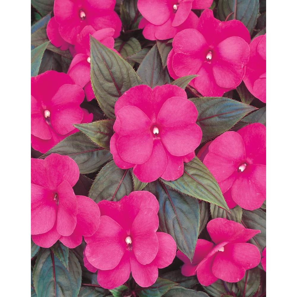Infinity Dark Pink New Guinea Impatiens Live Plant Flowers 4 25