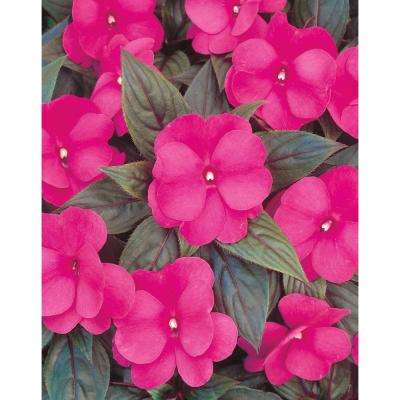 Pink annuals garden plants flowers the home depot infinity dark pink new guinea impatiens live plant dark pink flowers 425 mightylinksfo Gallery