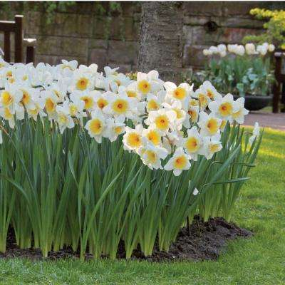 Narcissus Ice Follies Bulbs (100-Pack)