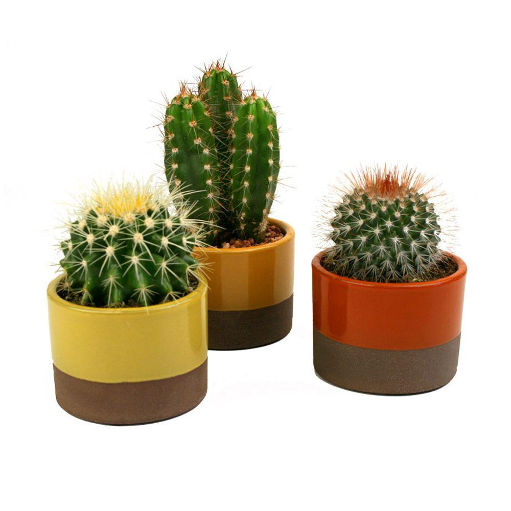 3 5 in assorted cactus plant in horizon deco pot 3 pack. Black Bedroom Furniture Sets. Home Design Ideas