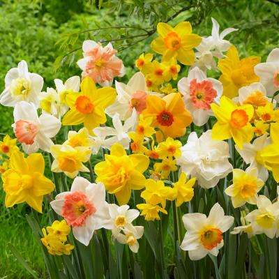 Daffodil Naturalizing Mix Bulbs (50-Count/Pack)