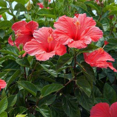 Hibiscus Evergreen Shrubs Trees Bushes The Home Depot