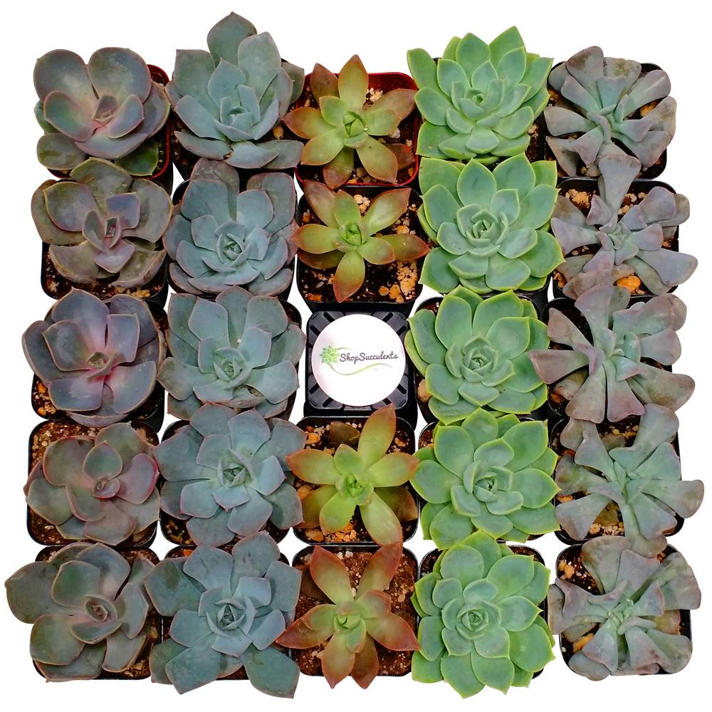 Shop Succulents 2 in. Rosette Succulent (Collection of 128)