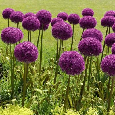 Color Collection Multi-Colored Allium Bulbs (25-Pack)