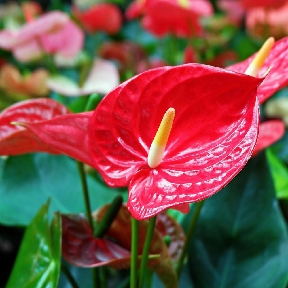 national PLANT NETWORK 6 in. Lace leaf Fire Glow Anthurium ...