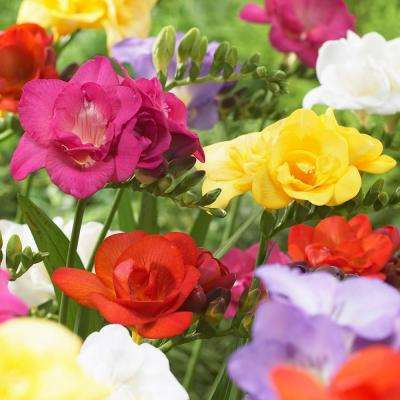 Freesias Bulbs Double Blooming Mixed (Set of 25)