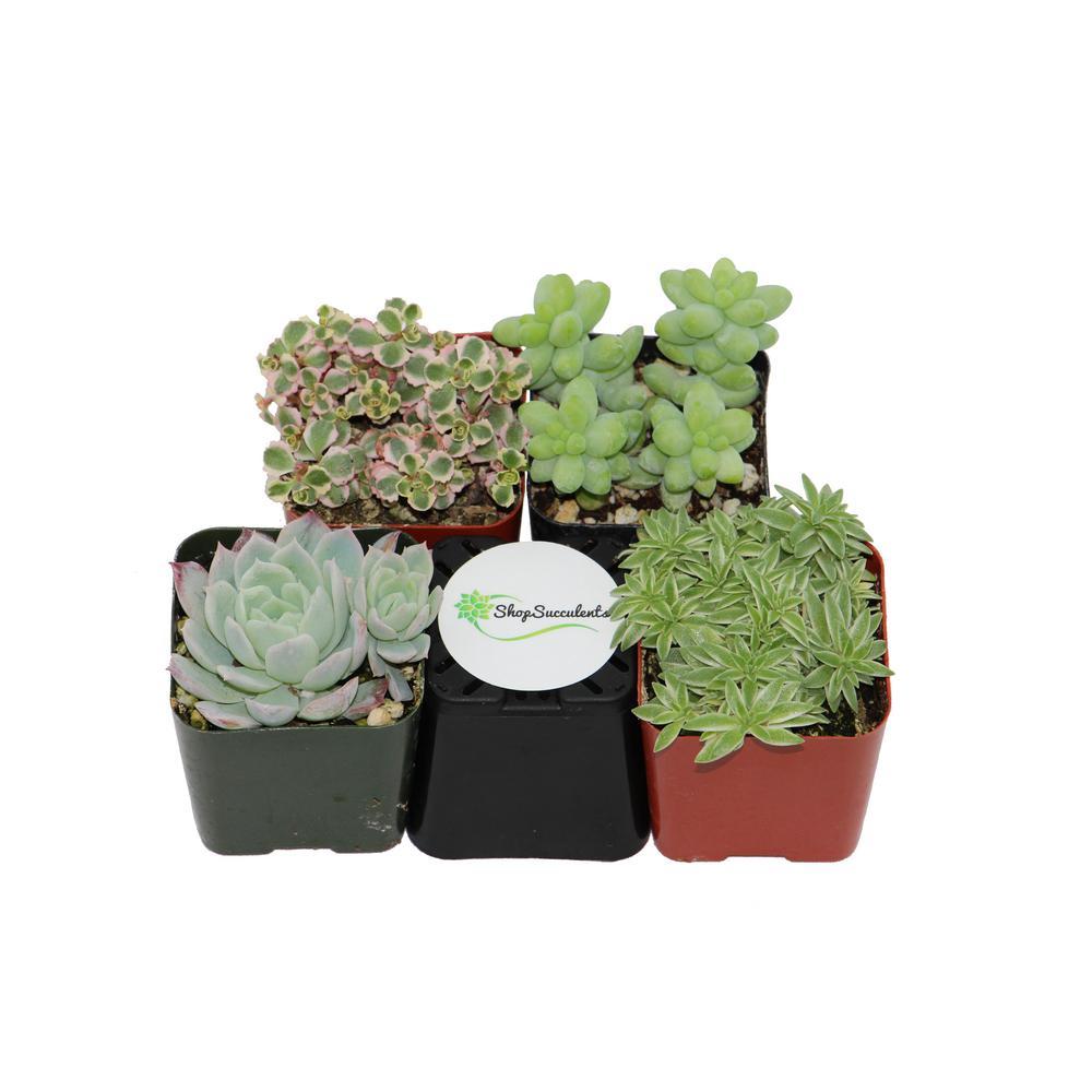 2 in. Premium Pastel Succulent (Collection of 4)