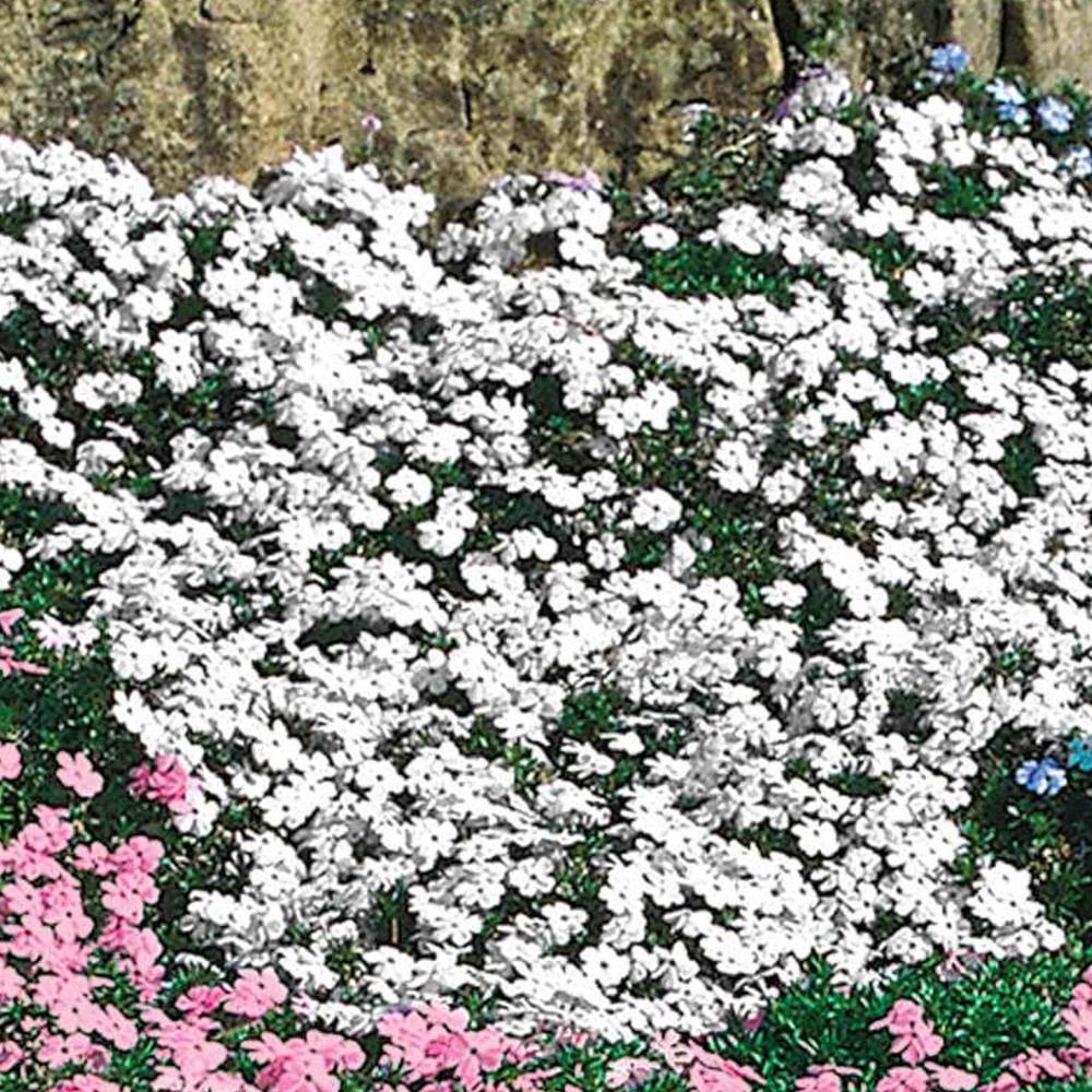 White Flowering Creeping Phlox, Live Bareroot Plant, Groundcover Perennial (3-Pack)