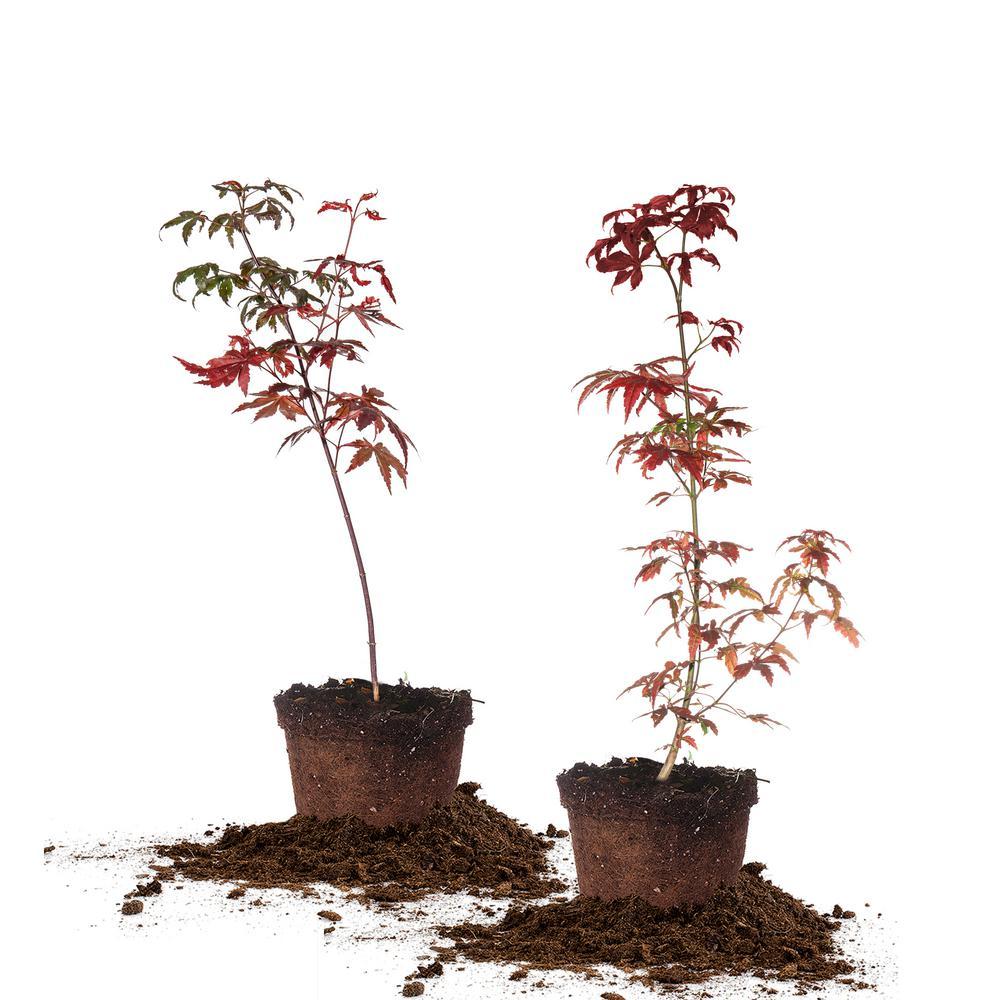 1 Gal. Japanese Maple Tree (2-Pack)