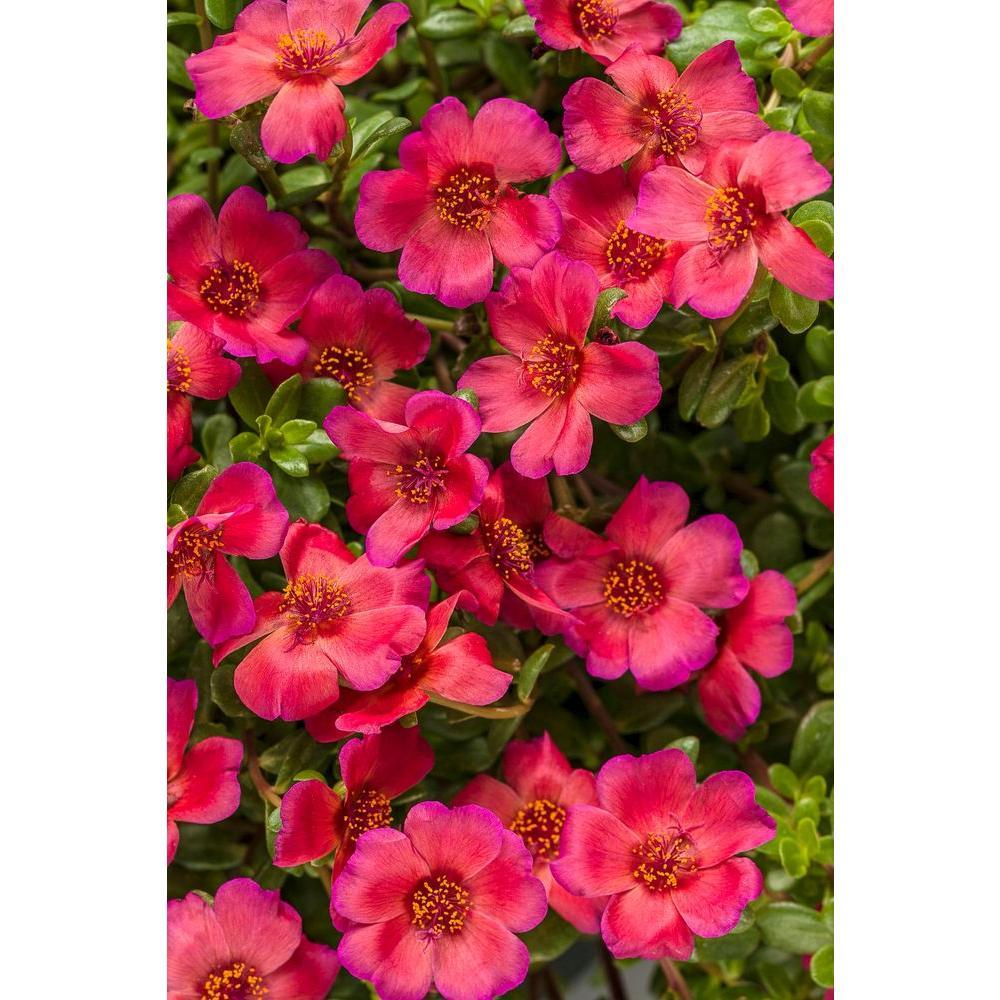 Proven Winners Mojave Red Moss Rose Portulaca Live Plant Dark