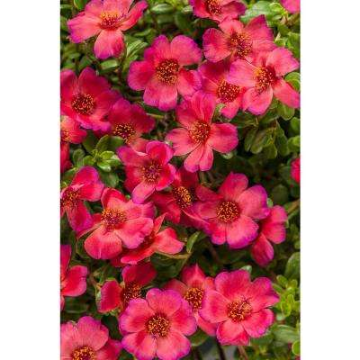4-Pack, 4.25 in. Grande Mojave Red Moss Rose (Portulaca) Live Plant, Dark Pink Flowers