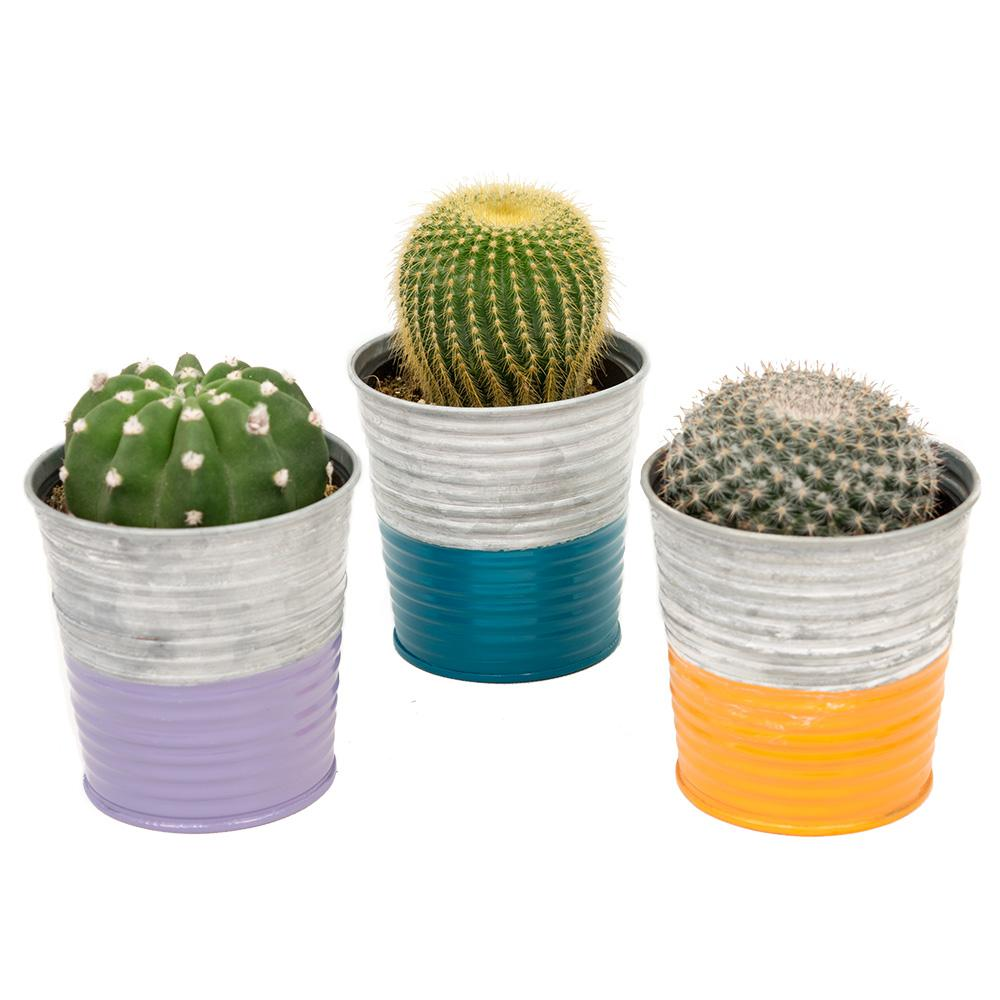 3.5 in. Assorted Cactus in a Neon Stripe Galvanized Tin (3-Pack)