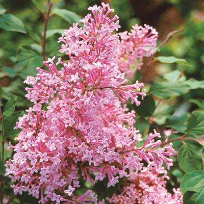 2 In. Pot, Josee Reblooming Lilac (Syringa), Live Deciduous Plant, Lavender-Pink Blooms with Green Foliage, (1-Pack)
