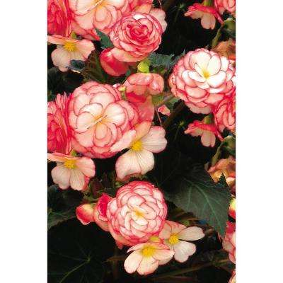 Nonstop Rose Petticoat (Tuberous Begonia) Live Plant, Pink and White Flowers, 4.25 in. Grande