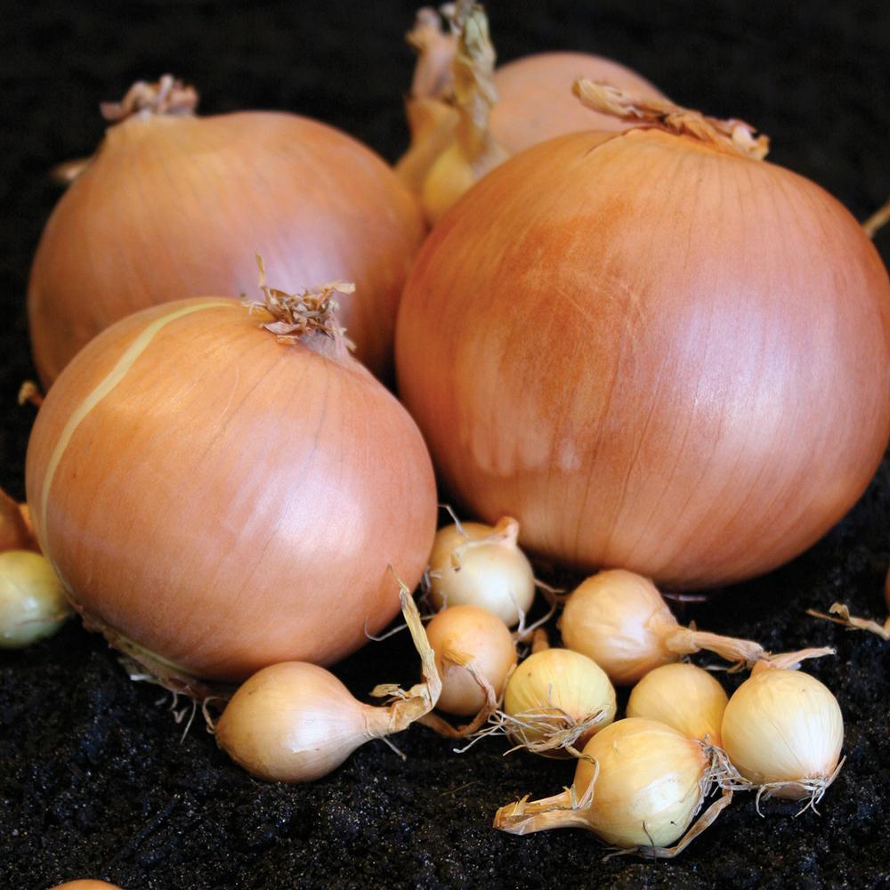 Yellow Rock Edible Onions (100-Set)