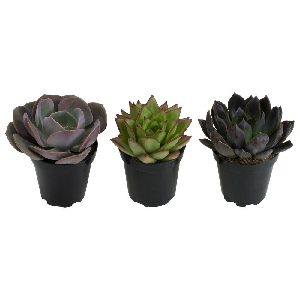 Altman Plants 9 cm. Assorted Desert Rose Echeveria Succulent Plant (3-Pack)