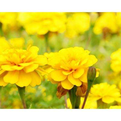 Yellow Marigold (12-Plants)