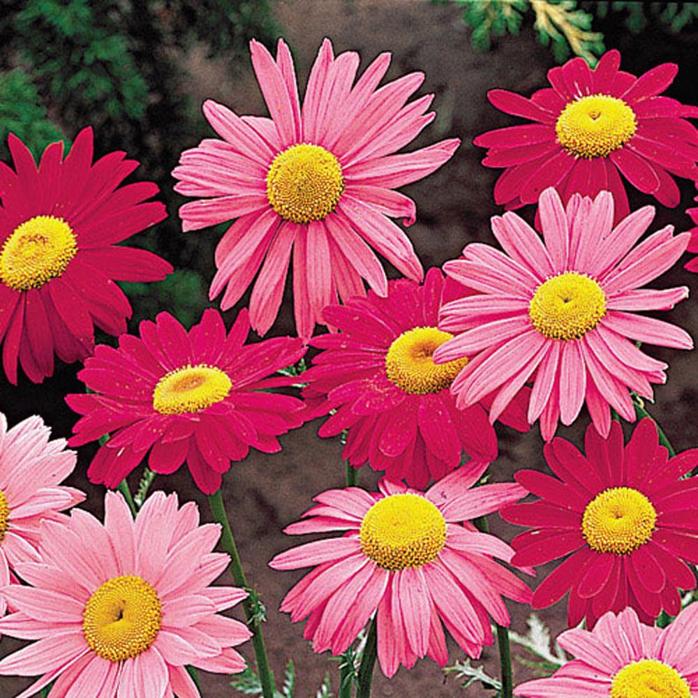 Color Daisies: Spring Hill Nurseries Painted Daisy (Tanacetum), Live