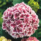 4 in. Pot Raspberry Parfait Hydrangea, Live Deciduous Plant, Pink and White Flowering Shrub (1-Pack)