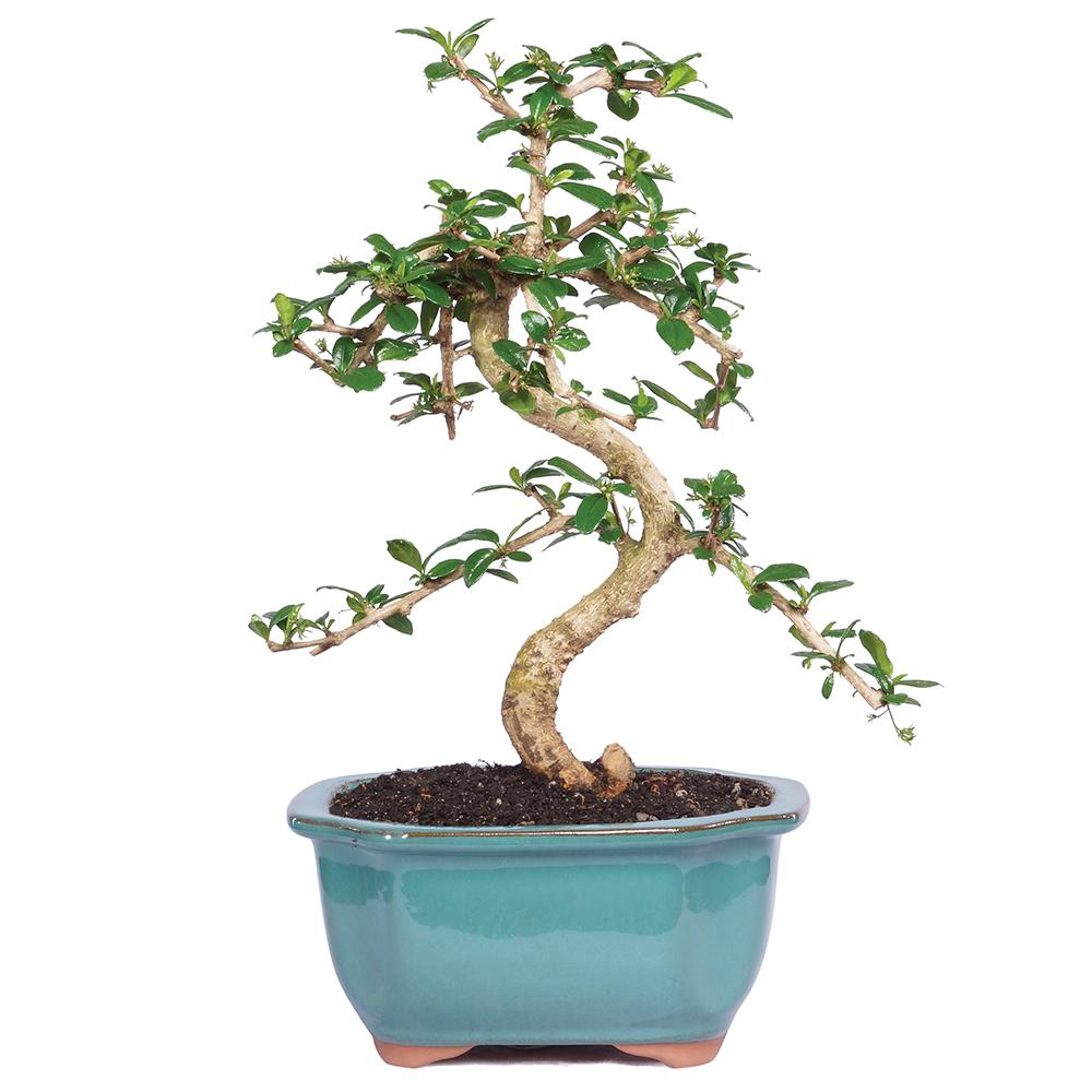 Brussel's Bonsai Fukien Tea Bonsai